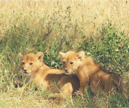 La ville où vivaient les lions, qu'est-elle devenue ? Les lionceaux y recevaient leur nourriture. Quand le lion partait la chercher, personne ne touchait à ses petits.